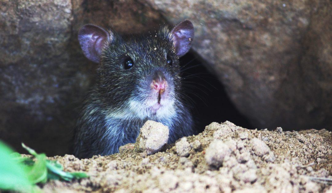 Signs You May Have Rats