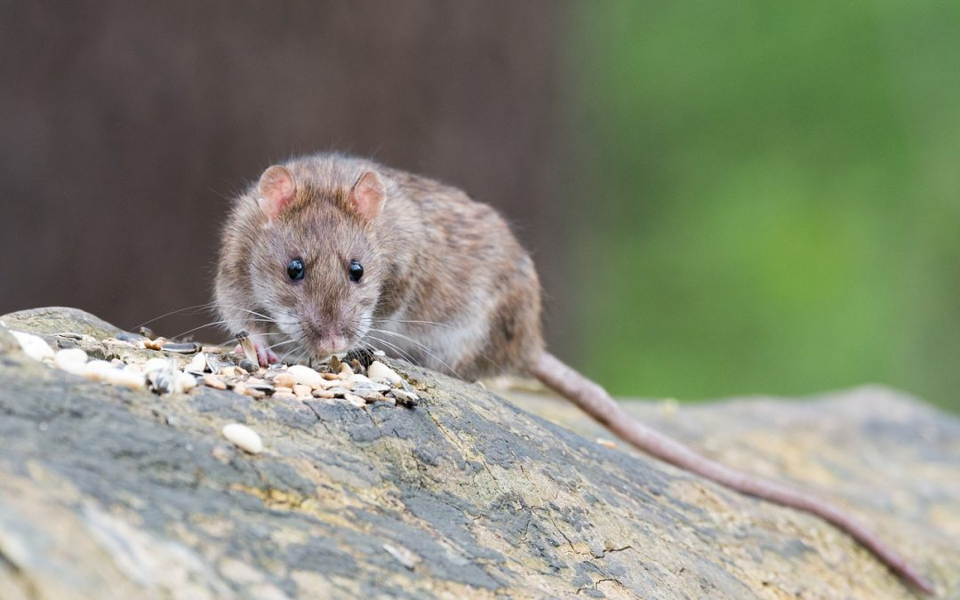Guide to Preventing a Rat Infestation