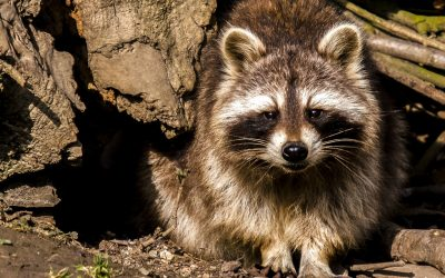 Wildlife Eviction or Wildlife Trapping in the Pacific NW