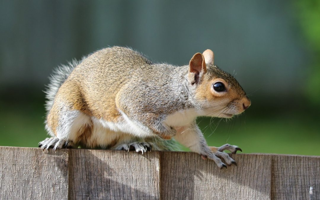 The Pacific NW Squirrel, Cute Furry Creatures or Pesky Rodent?