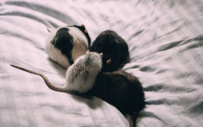 How Rodents and Wildlife Get Into Your Home