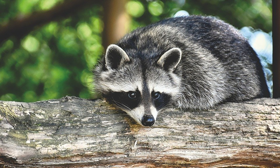 Get to Know the Pacific Northwest Raccoon
