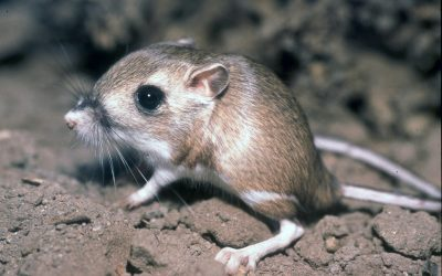 The Native Species of Rats in Washington