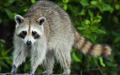 Will Homeowners Insurance Pay For Raccoon Damage?