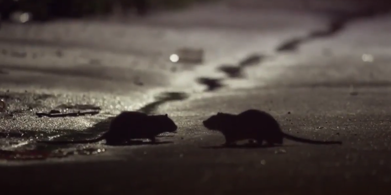 rats in streets from covid
