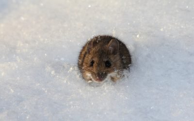 What Happens To Mice And Rats In The Winter