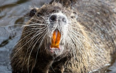 Get To Know The Pacific NW's Nutria